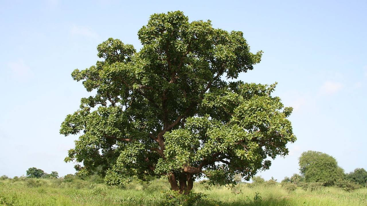 Shea tree is from africa