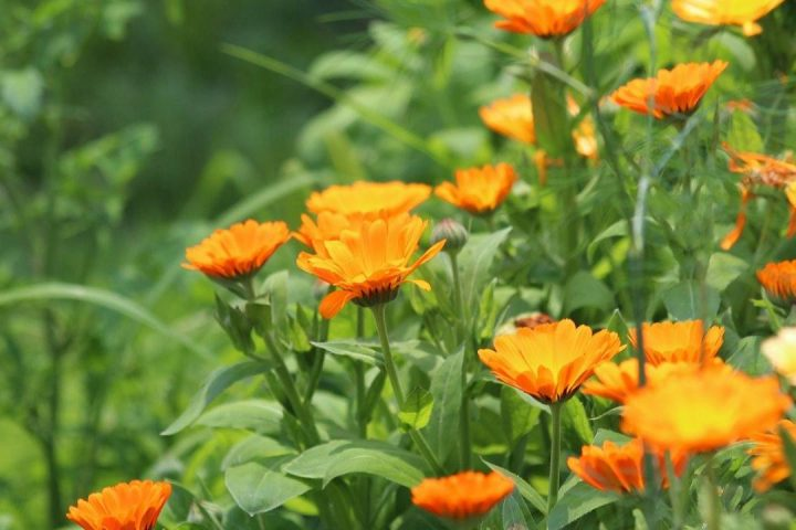 Benefits Of Calendula Extract for Your Skin